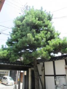 うの家松の木剪定①-1