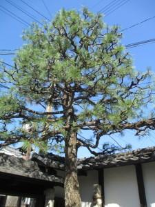 松の木剪定後 (2)